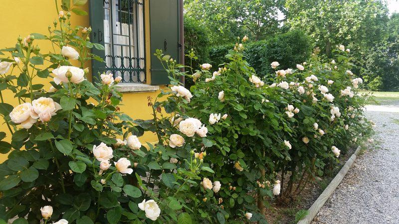Agriturismo Lemene - rose